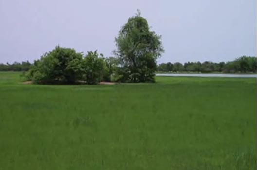 Fonio plantation