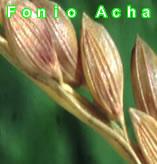 Fonio Acha.com