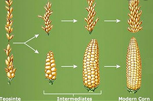 History of teocinte to the modern corn