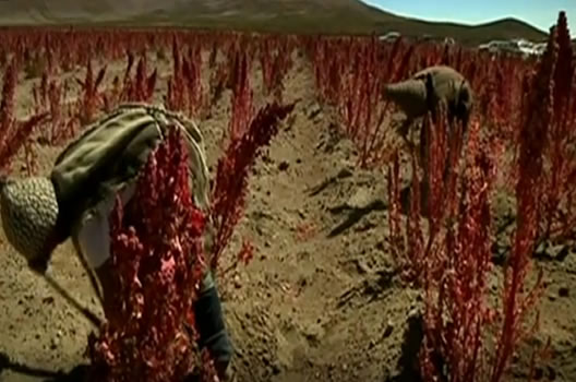 Quinoa farming in Bolivia#4